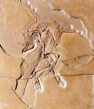 archaeopteryx-feather-fossil